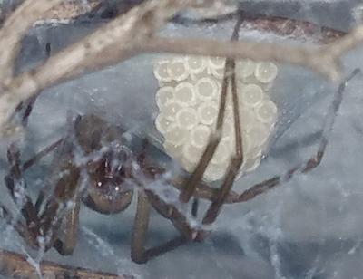 Loxosceles arizonica - female