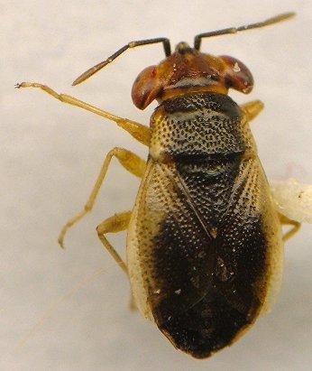 Big eyed bug - Geocoris uliginosus