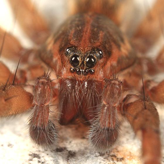 spider - Trebacosa marxi - male