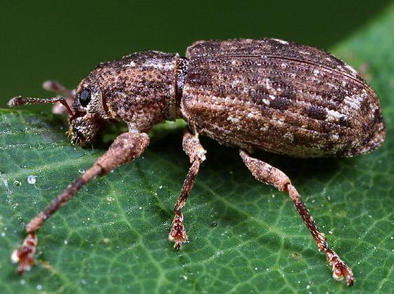 Coleoptera - Pandeleteius hilaris