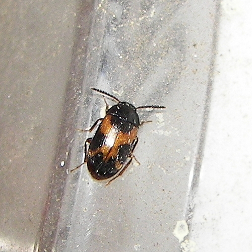 Hairy Fungus Beetle - Mycetophagus punctatus