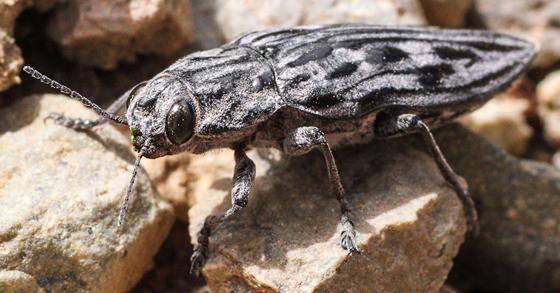Chalcophora sp? - Chalcophora angulicollis