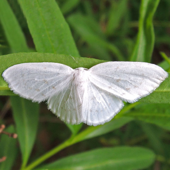 Moth - Eudeilinia herminiata