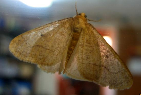 Kitchen Design U003e Light Brown Moth BugGuideNet # Small Brown Moths Kitchen