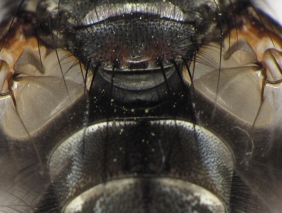 Tachinomyia