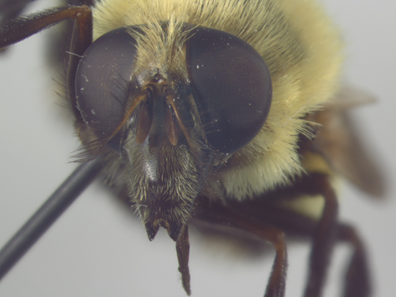 Syrphidae, face - Volucella bombylans-complex