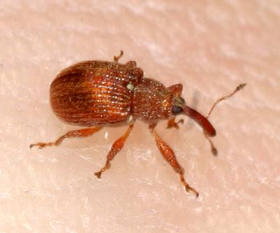 tiny weevil - Pseudanthonomus validus