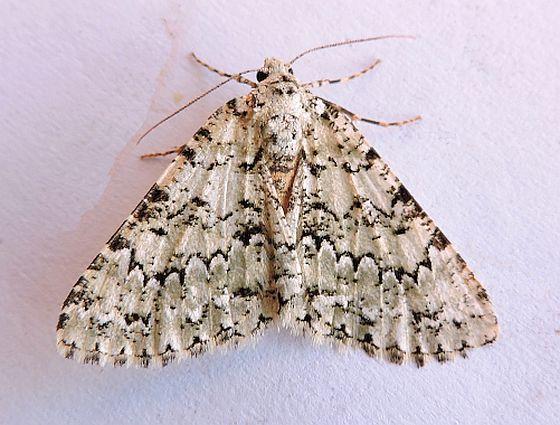 Carphoides setigera  - Carphoides setigera