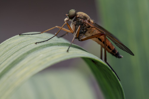 unknown fly or bee - Rhagio