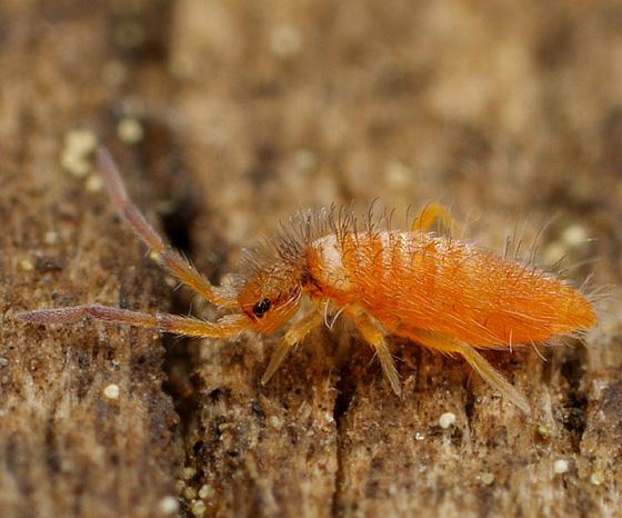 Collembola - Entomobrya atrocincta - male