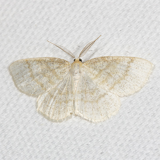 Yellow-dusted Cream - Hodges#6677 - Cabera erythemaria - male