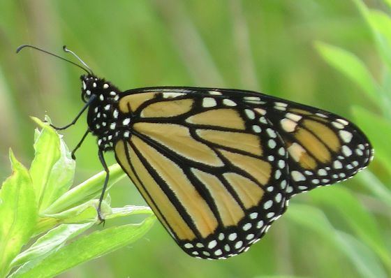 Monarch - Hodges#4614 - Danaus plexippus - male