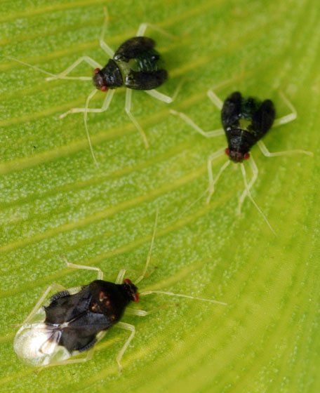 adult and nymphal plant bugs - Pycnoderes