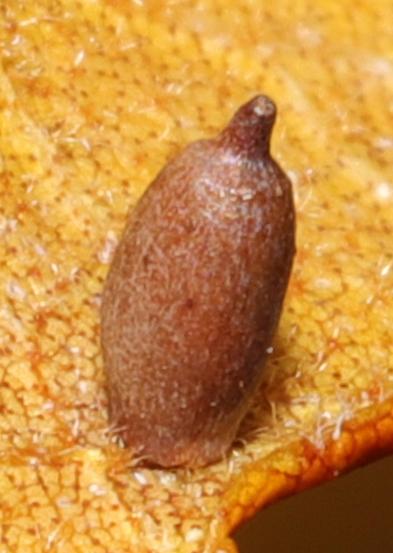 Caryomyia urnula?