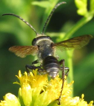 small wasp - Isodontia mexicana