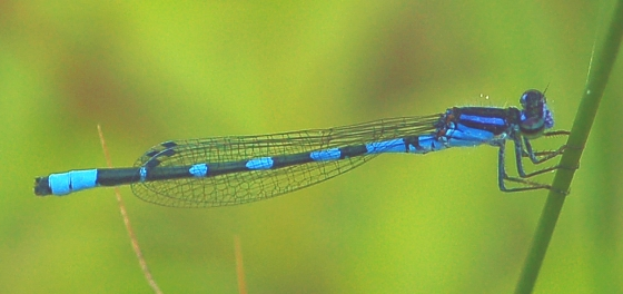 Little Bluet Waltons Lake near Adair's Wilderness Lodge - Enallagma minusculum - male