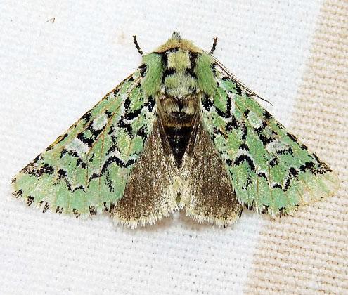 10006 Deceptive Sallow Moth  Feralia deceptiva - Feralia deceptiva - male