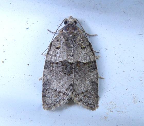 Gray Leafroller - Syndemis afflictana