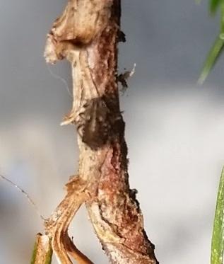 Unknown bug on Pine tree in Seattle, WA