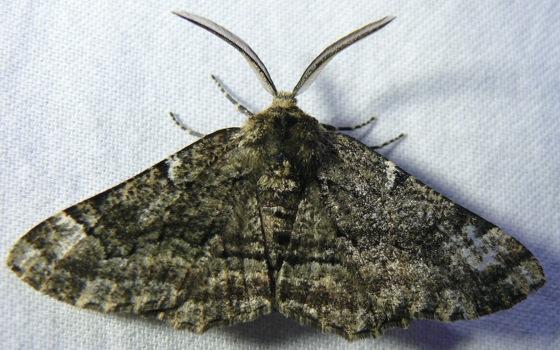 Oak Beauty? - Phaeoura quernaria - male