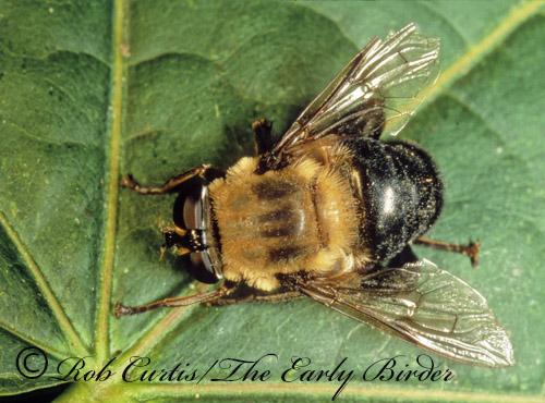178330 Microdon melanogaster or Mallota bautius? - Mallota bautias