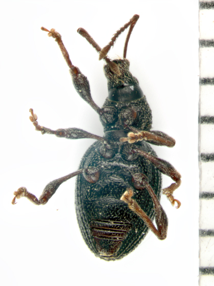 Curculonidae, ventral - Otiorhynchus ovatus