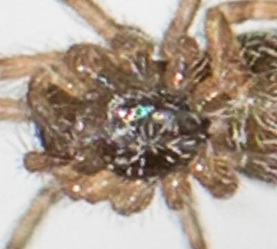 Tiny arachnid on side of house  - immature Budumna longinqua - Badumna longinqua