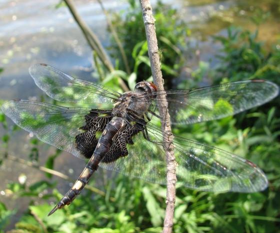 dragonfly - Tramea lacerata