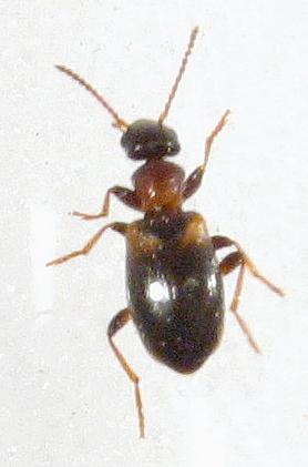 Anthicidae? - Omonadus formicarius