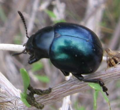 Bl-Blk Beetle 2 - Leptinotarsa haldemani