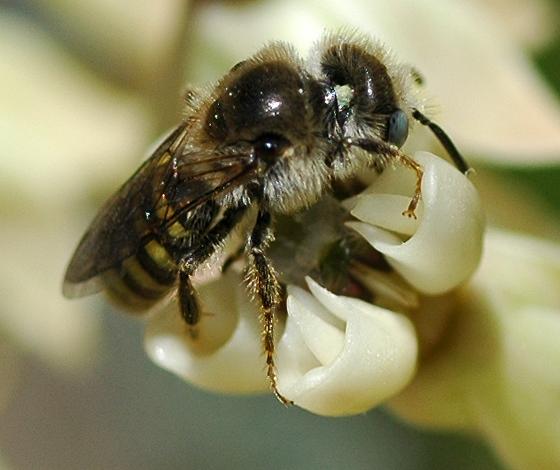 Colletes? - Calliopsis puellae