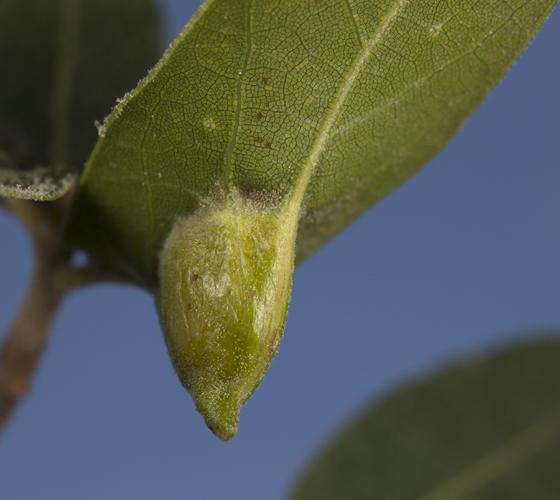 coccoid gall - Olliffiella cristicola