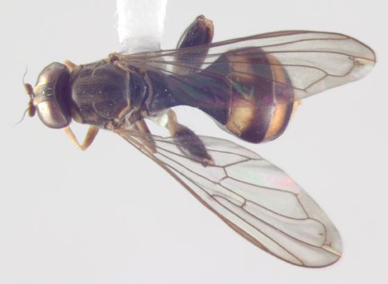 Syrphidae, dorsal - Sphegina