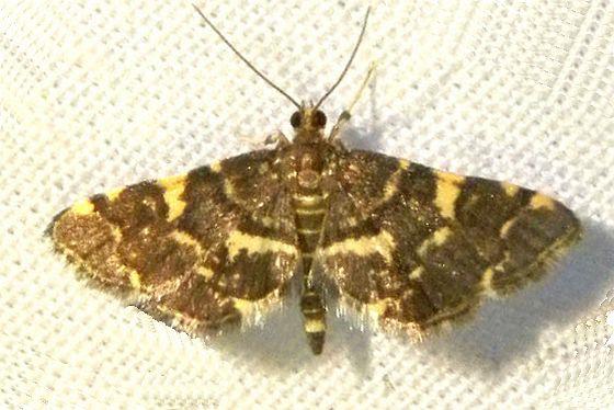 Pennsylvania Moth  - Anageshna primordialis