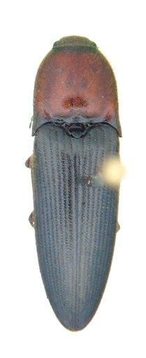 Ampedus verticinus - Ampedus rubricollis