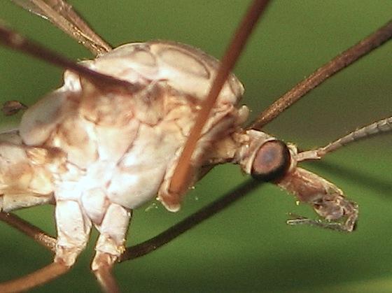 Crane fly (?) - Tipula oleracea - female