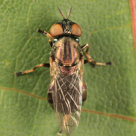 Syrphid Fly - Orthonevra - female