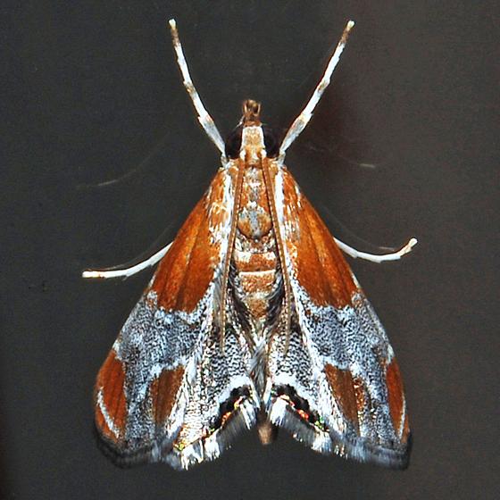 Pegasus Chalcoela Moth - Hodges#4896 - Chalcoela pegasalis