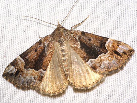 Erebid Moth - Hypena palparia