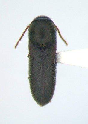 Eucnemid - Rhagomicrus bonvouloiri