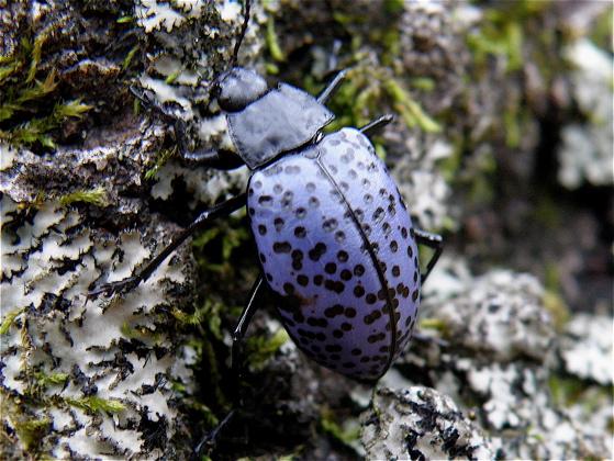 Pleasing Fungus Beetle - Cypherotylus californicus