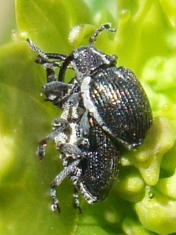 Mating weevils on yellow rocket - Ceutorhynchus americanus - male - female