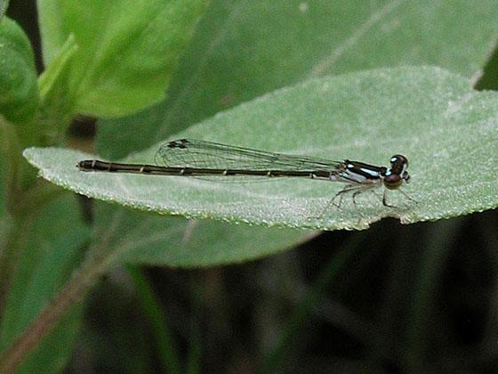 Blue Fragile Forktail (Ischnura posita) - Ischnura posita - female