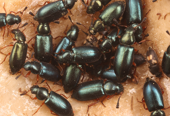 lots of red-legged ham beetles - Necrobia rufipes
