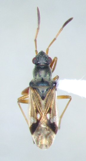 Pseudopachybrachius vinctus