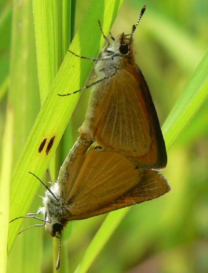 Least Skipper - Ancyloxypha numitor - male - female