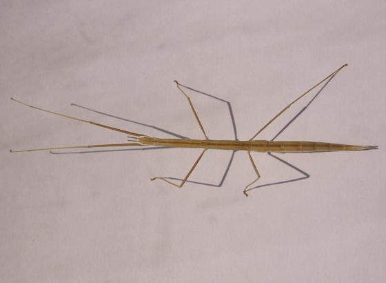 Walking stick - Parabacillus coloradus - female