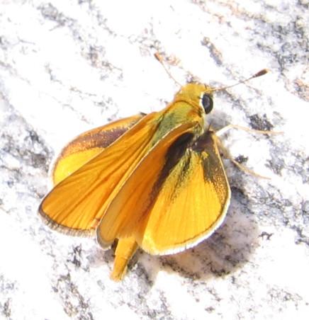 Southern Skipperling - Copaeodes aurantiaca