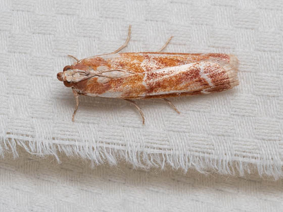 moth ID? - Dioryctria auranticella