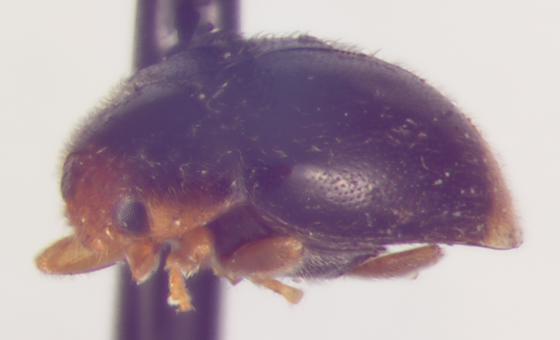 Coccinellidae, lateral - Diomus terminatus